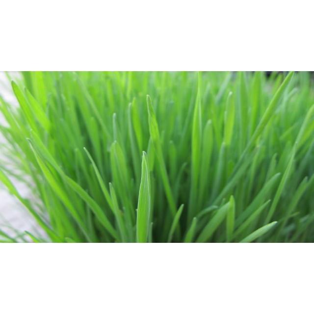 ~兔寶天天的最愛~小麥草種子培養土盆栽一組