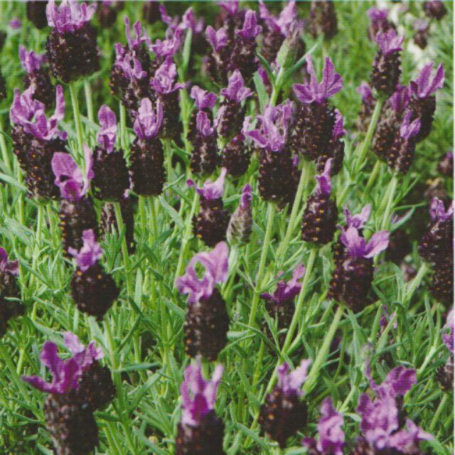 ~ 種子~西班牙薰衣草頭狀薰衣草、法國薰衣草分包裝種子約50 粒包花語:等待愛情