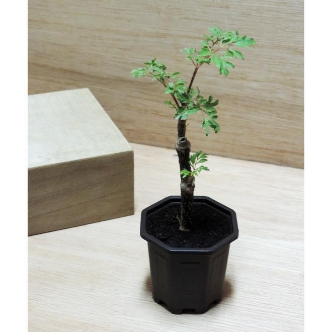 療癒小品迷你盆栽辦公室植栽富貴樹~福祿桐~