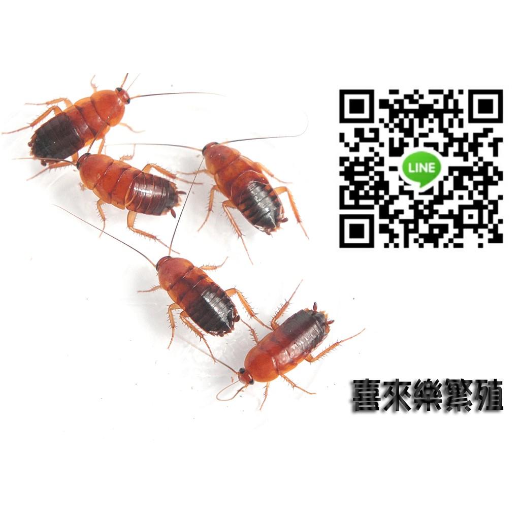 喜來樂櫻桃蟑螂櫻桃紅蟑櫻桃紅蟑螂生物飼料低溫乾燥