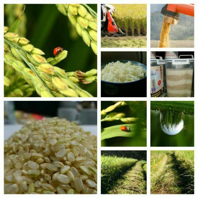 瓢蟲幫忙吃蟲金黃糙米白米糙米胚芽白米