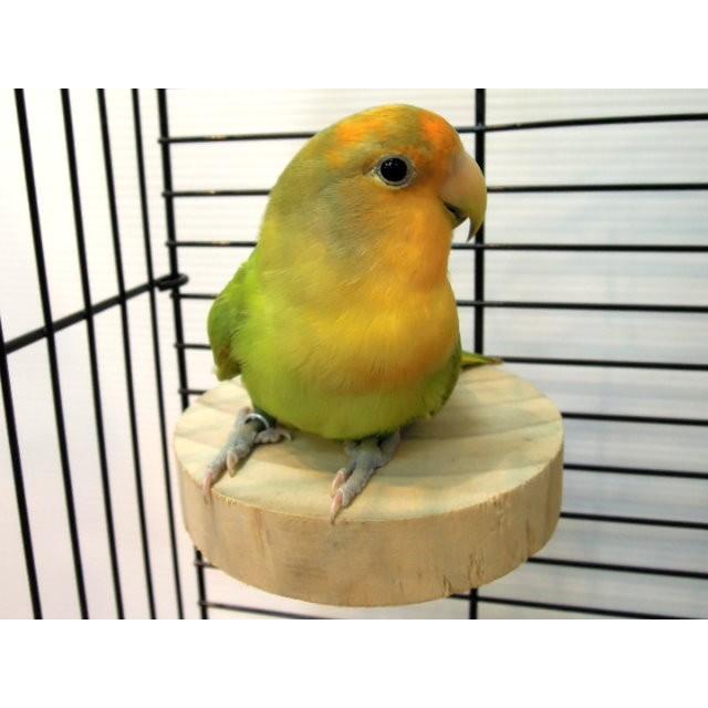 金瑞成鳥園原木棒棒糖讓鳥兒休憩及滿足啃咬慾的好選擇各種籠子都 鳥、蜜袋鼯、松鼠