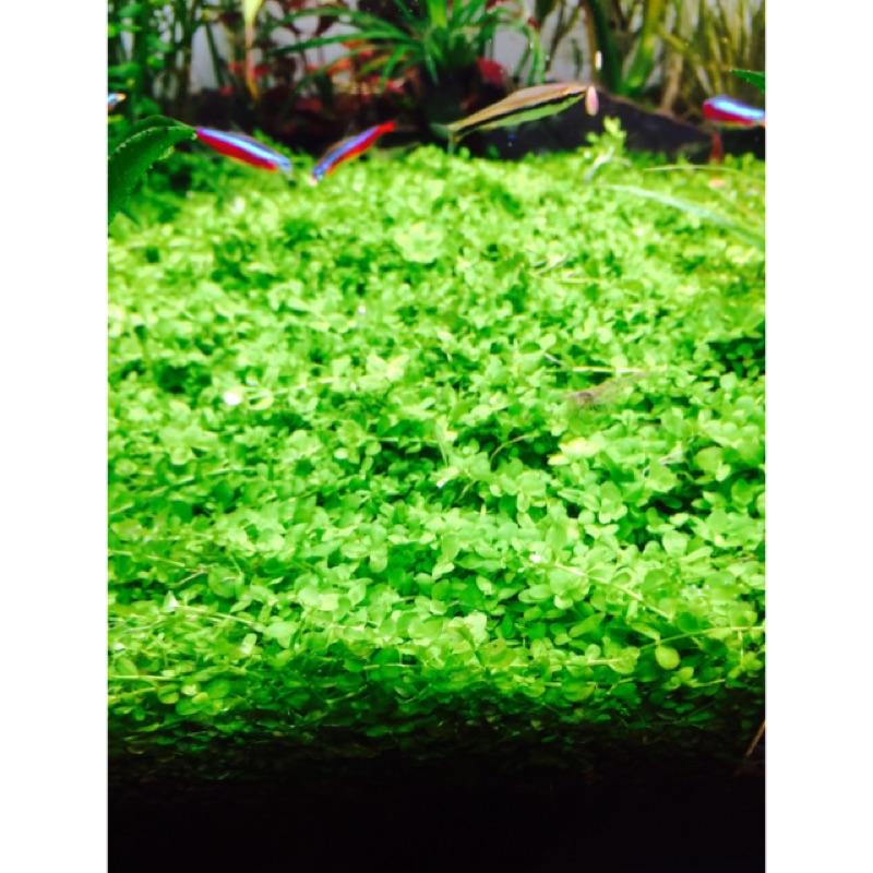 新大珍珠草水草水中葉7X7 一片130 前景草