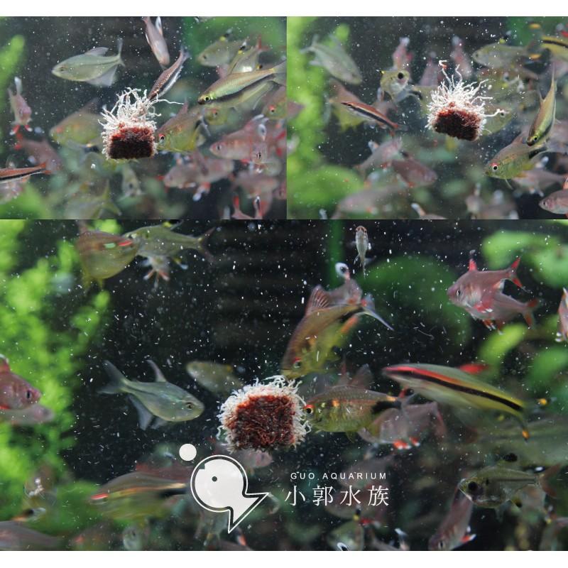 小郭水族澳洲~ 乾燥黑蟲乾方塊10g ~營養價值高不腥七彩水晶蝦短鯛鼠魚神仙愛吃可黏貼紅蟲
