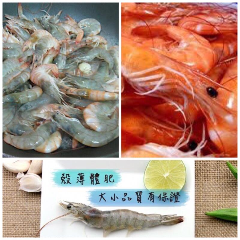 臺灣白蝦6 7