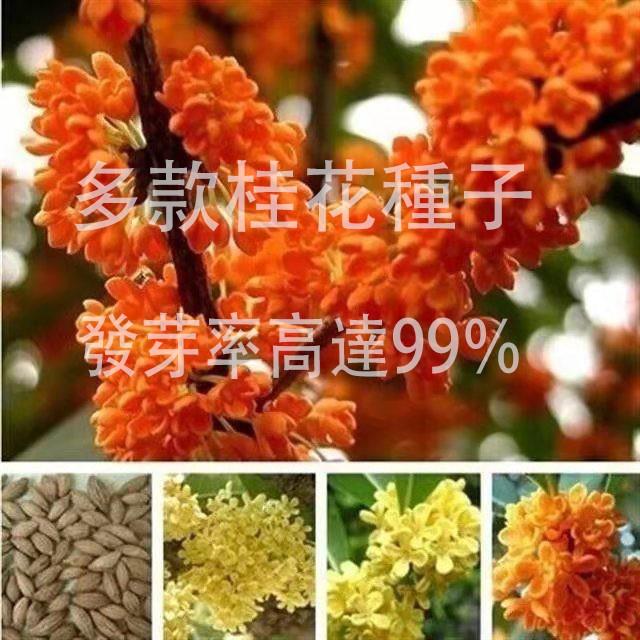 蟲蟲花藝-規劃種子當年新籽 四季桂八月桂金桂沉香桂花