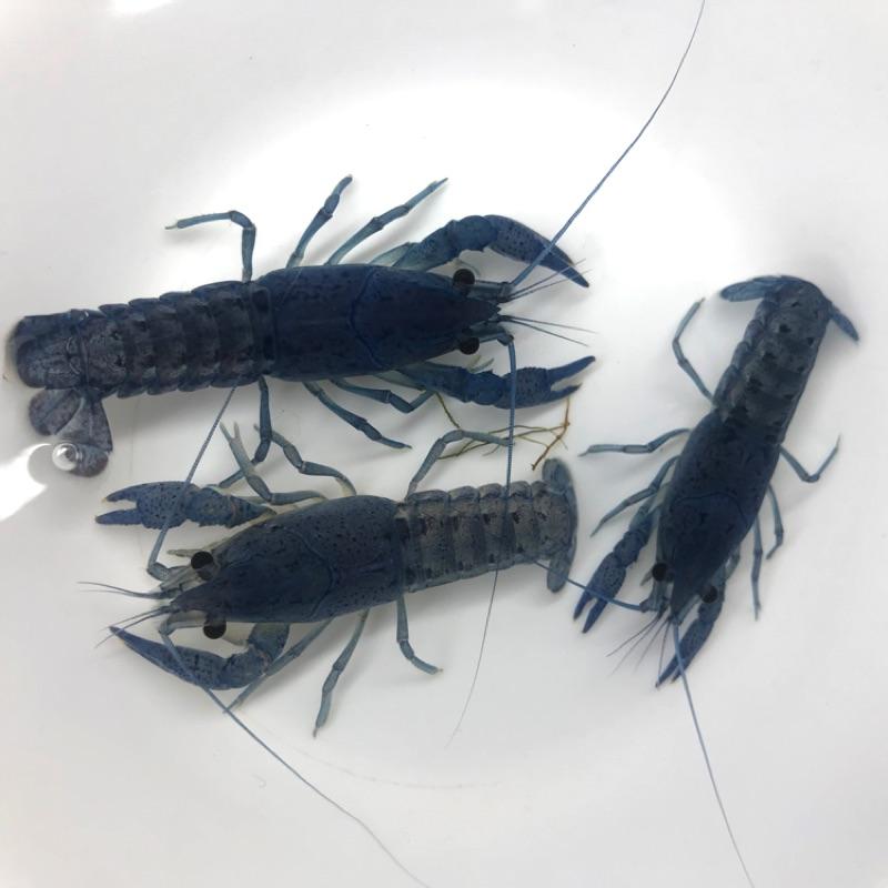 🦐藍螯蝦 - 清缸利器 除蟲工具
