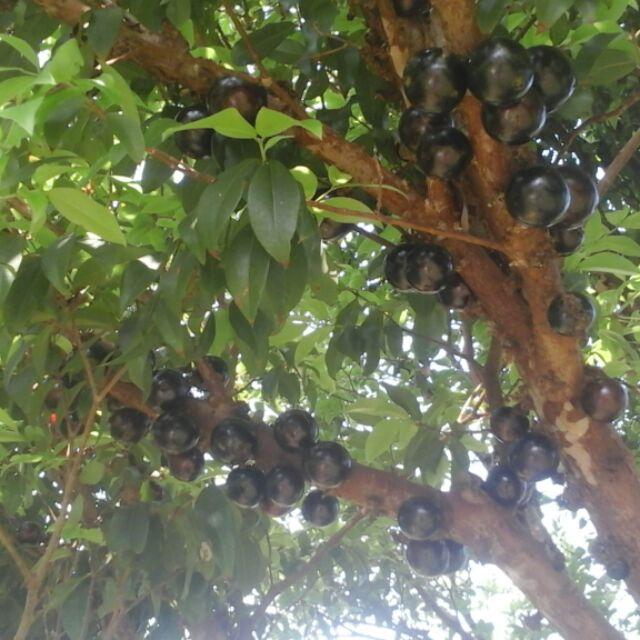 有機樹葡萄嘉寶果,高單位花青素可自製酵素,葡萄酒(無化學肥料果實生長激素100%真正天然健康)