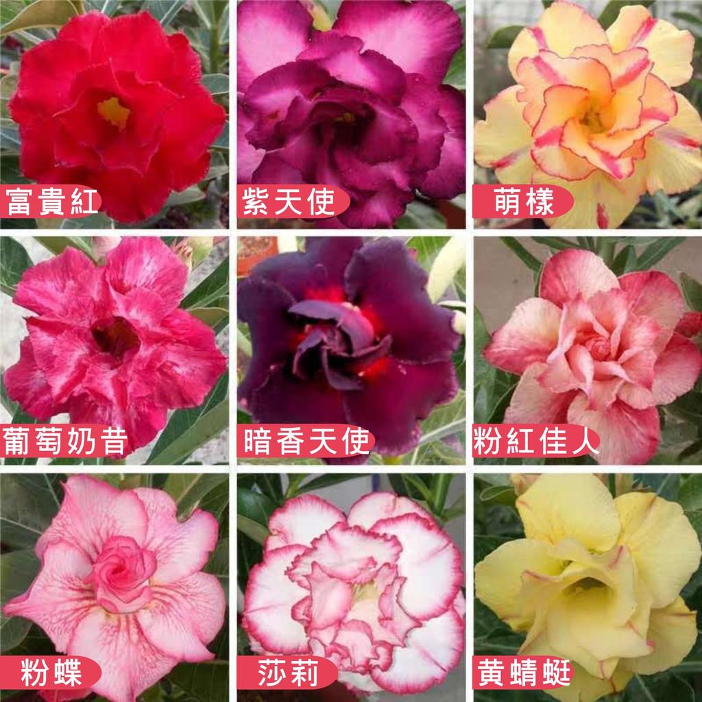 本土供貨 沙漠玫瑰種子 花卉種子 觀花植物 室內外綠植