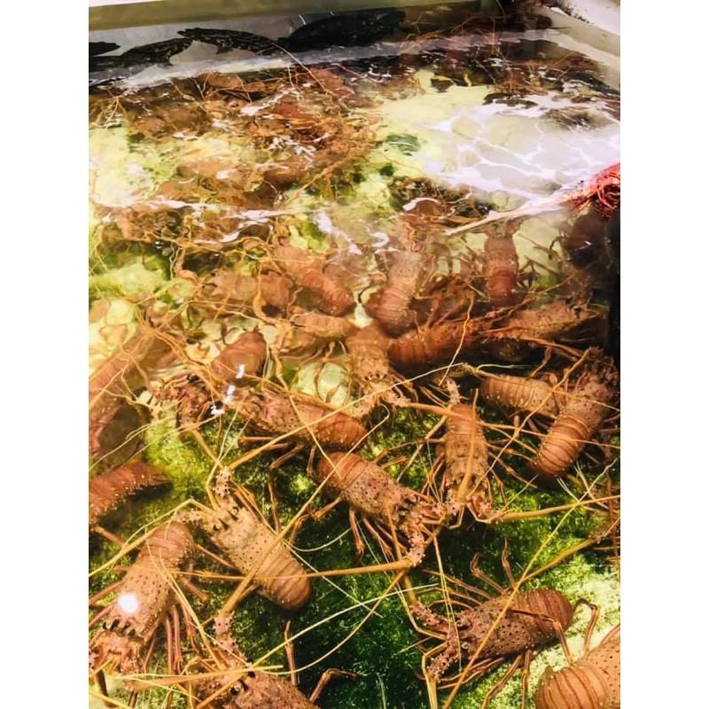 《饌吉食亦火鍋超市》活體澳洲水姑娘龍蝦