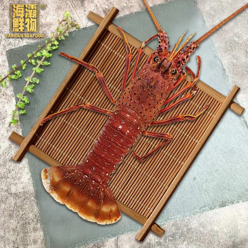 【海灞鮮物】活體-澳洲玫瑰龍蝦【1000g/02隻】