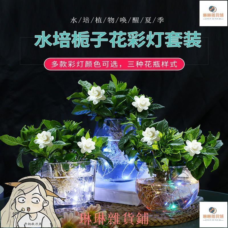 梔子花盆栽水培植物室內花卉帶花苞開花枝枝花濃香型好養花苗