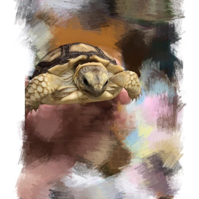 海陸空家族🐟(送夾鏈袋裝飼料)蘇卡達象龜、赫曼、四趾陸龜、豹紋陸龜、櫻桃紅腿(模型)