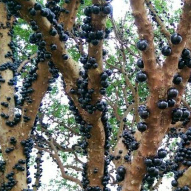 """樹葡萄""""生成樹"""",""""棵樹"""",""""果樹""""買賣(註:也有10年期以上及70~110公分樹苗唷!)"""