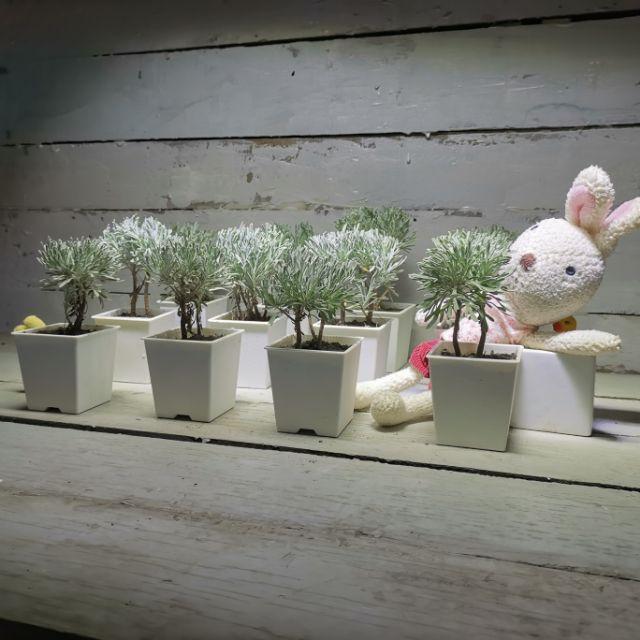 【samgreen♥️銀河波波草🌳】3吋盆+水盤/日本芙蓉草/室外盆栽