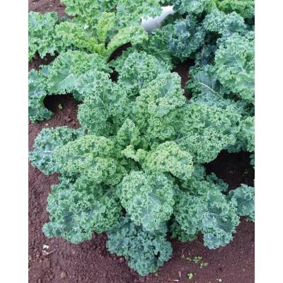 【媽咪蔬果園】、羽衣甘藍   種子