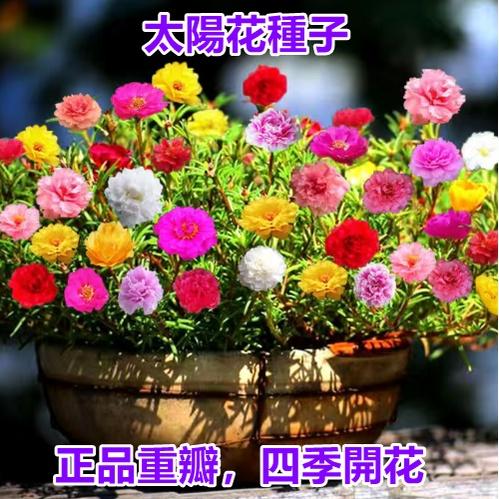 太陽花種子 太陽花  種子 重辦 單辦 太陽花 花卉盆栽綠植