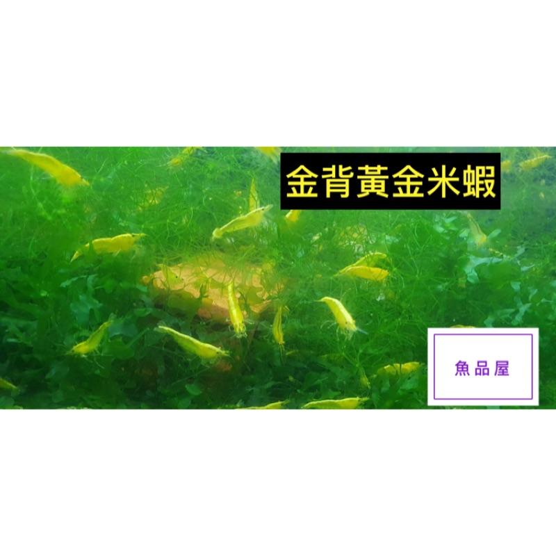 金背黃金米蝦 $5/隻