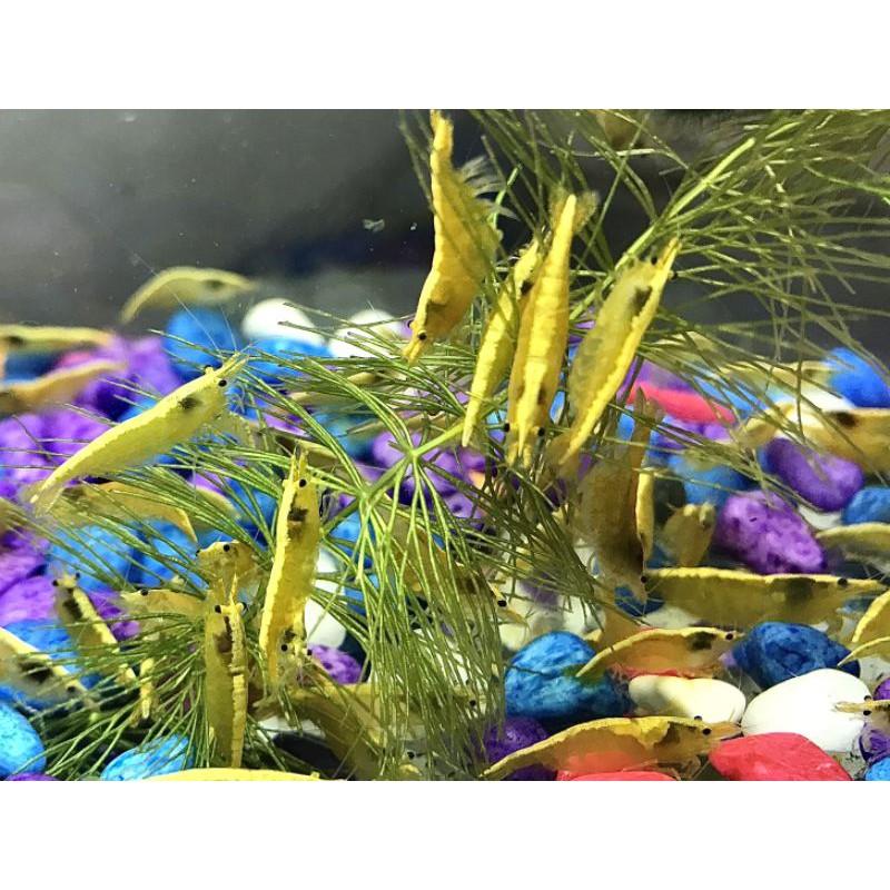 [‼️金背黃金米蝦‼️]粗金背/金背/-觀賞蝦