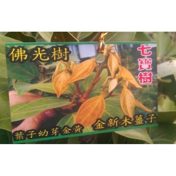 花囍園_喬木觀賞植物—佛光樹--樟科(Lauraceae)~又稱金新木薑子/4吋高約25-30cm/特價220