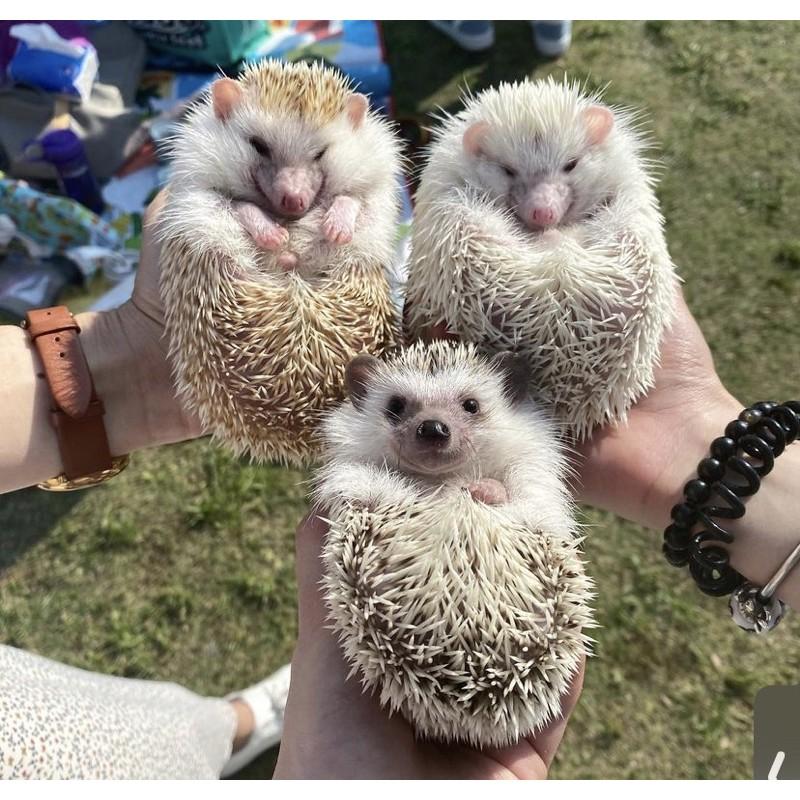 刺蝟飼料 倉鼠零食 免費認養 免費領養