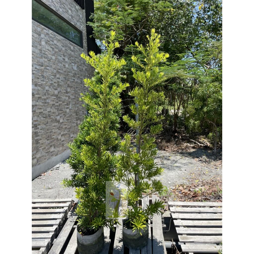 羅漢松8吋盆4-5尺高 大量另有優惠 ( 圍籬樹 / 綠籬植物 / 庭園樹 )-春耕種苗園