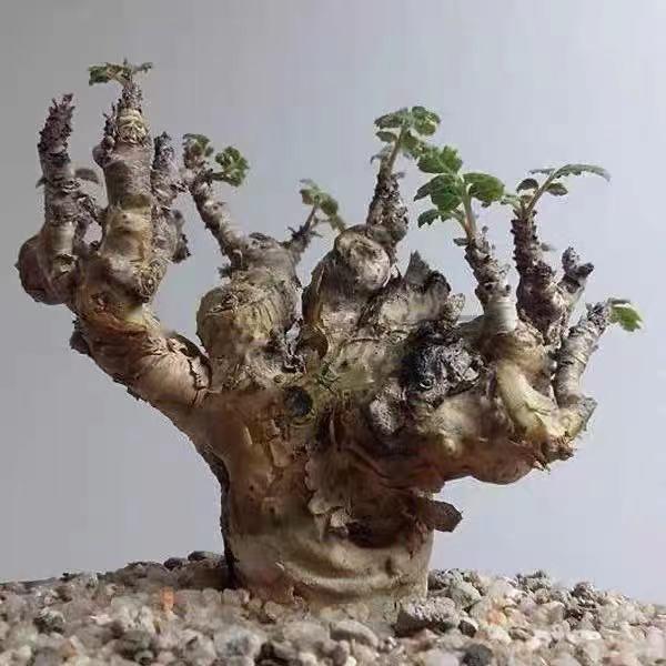 阿曼乳香 神聖乳香 Boswellia Sacra 橄欖科 塊根種子 稀有品種