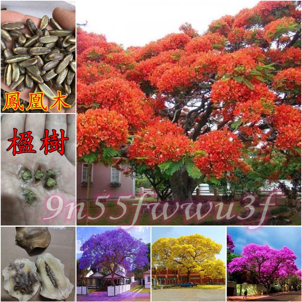 ↖百花谷園藝-風水樹 (種子) 鳳凰木  藍花楹  花苗 花卉 ↗