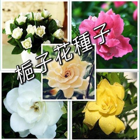 {安安■◇→專賣店花園}梔子花種子10粒{送玫瑰花種子}