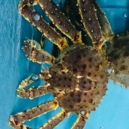 活體帝王蟹(億品館水果~水產)也有冷凍帝王蟹一斤1500元喔!