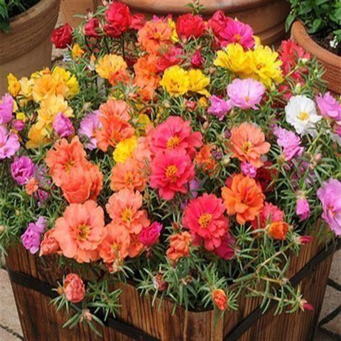 【萌萌芊⋌】:5萬粒太陽花種子重瓣混色松葉牡丹花卉種子