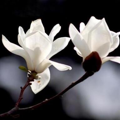 林木花卉種子 山玉蘭 白玉蘭 紅玉蘭 廣玉蘭種子 辛夷種子 玉蘭花種子