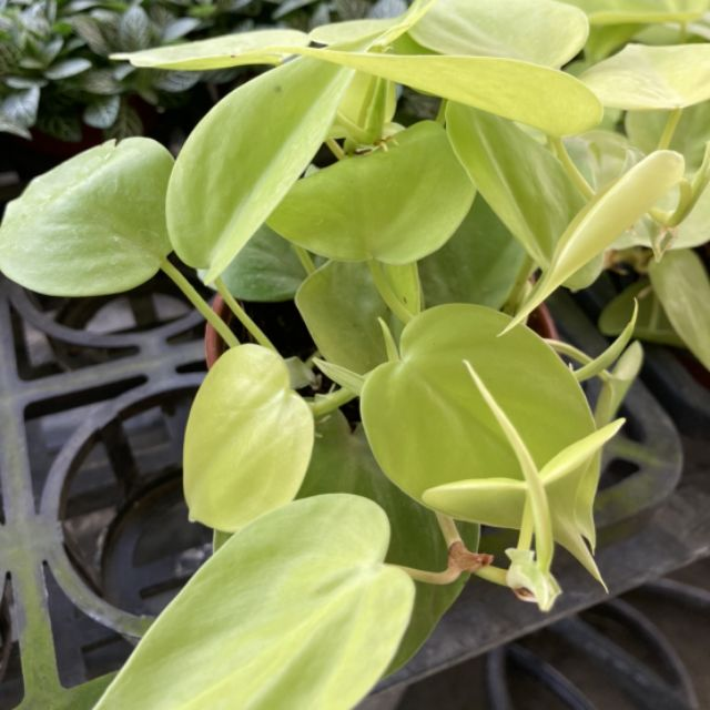 🌵觀葉植物🌵【 心葉蔓綠絨 】3吋盆