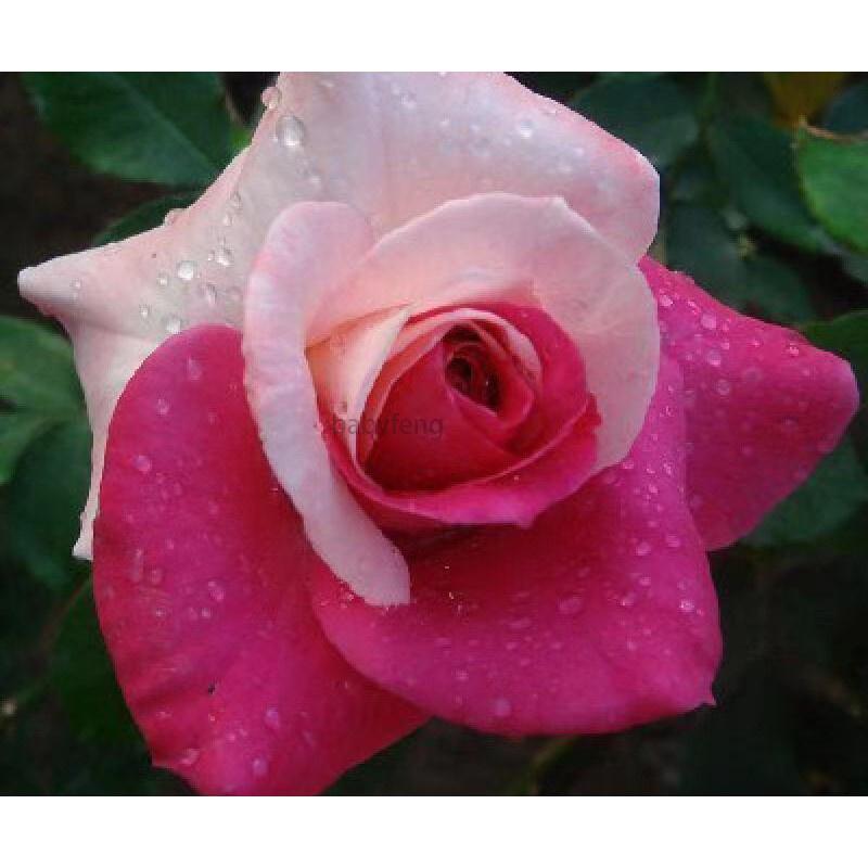 玫瑰花種子 薔薇玫瑰花種子 爬藤玫瑰花種子 藤本玫瑰花種子 彩色玫瑰花種子 稀有玫瑰花種子