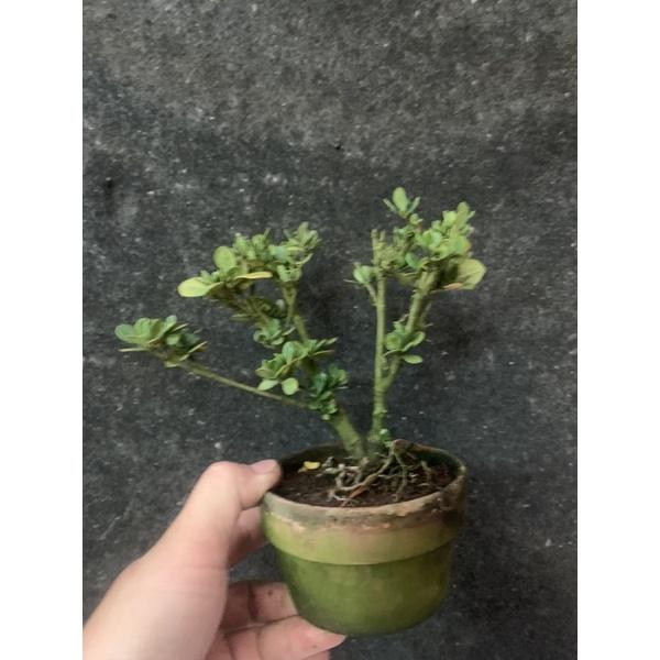 日本進口小品盆栽-達摩圓葉梔子花