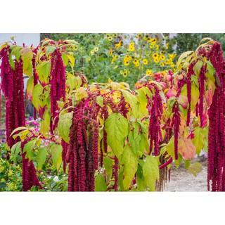 【268菜園】長紅尾莧種子~Loves Lies Bleeding,充滿異國情調,乾燥花素材