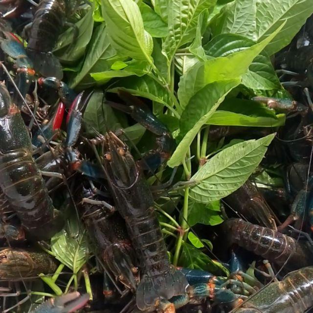 澳洲淡水龍蝦(1斤)