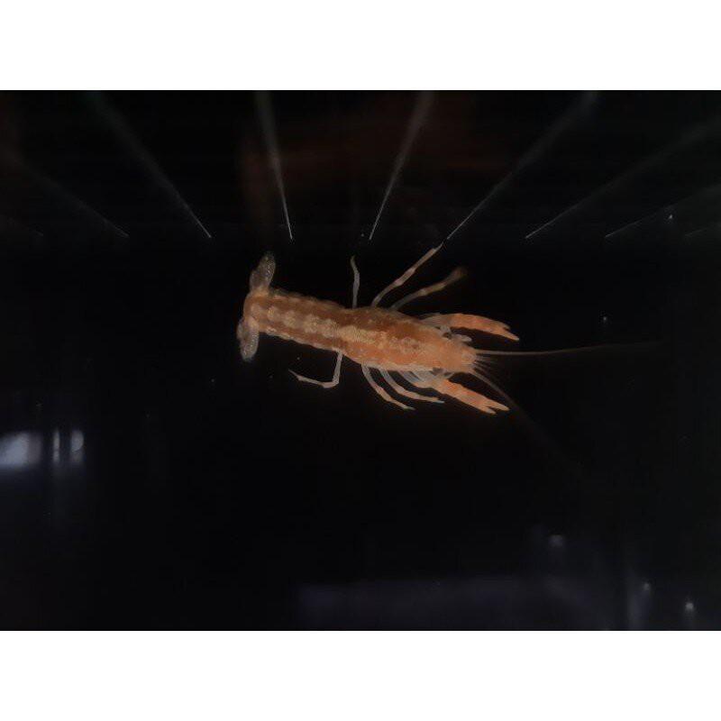 【水族先生】CPO侏儒橘螯蝦觀賞魚缸水草缸水族可混養溫馴/高級飼料餌料