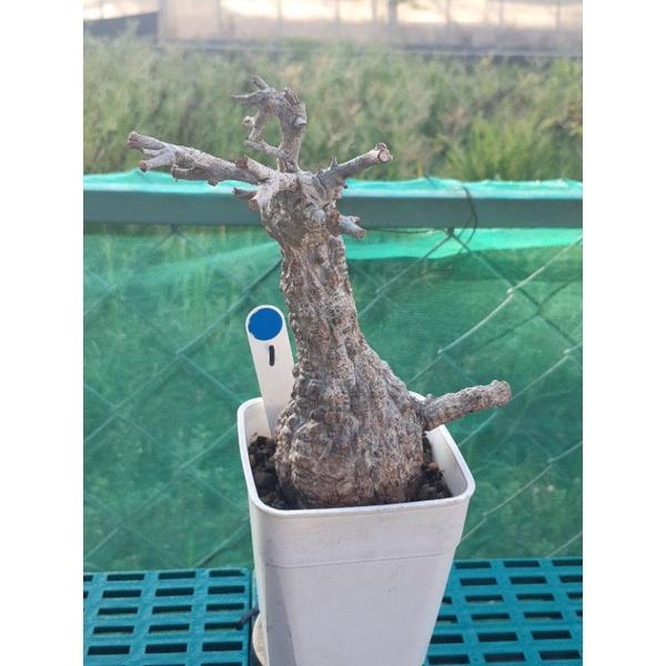 進口 象足漆樹無根 頭徑6.5cm以上 塊根植物/多肉植物 免運費
