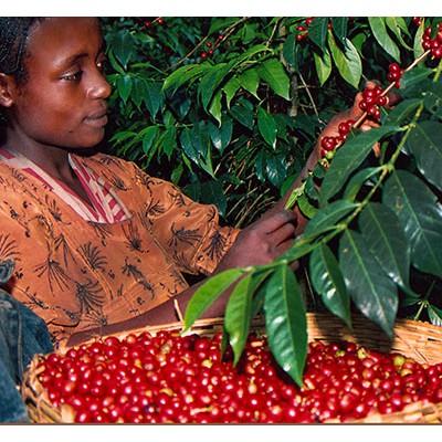【尋豆師】衣索比亞 水洗 耶加雪菲 果丁丁 G1 精品咖啡生豆 1公斤