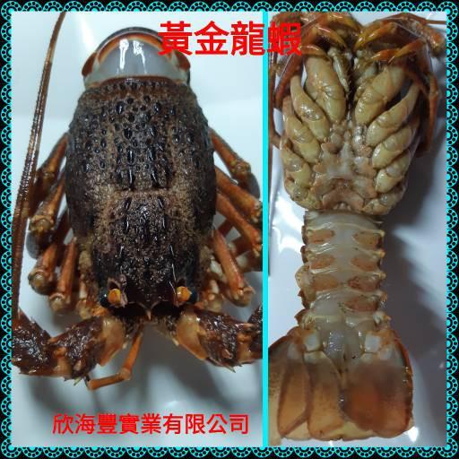 【海鮮7-11】生凍黃金龍蝦 200-250g/隻 肉質紮實、細緻鮮嫩! **每隻280元**