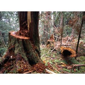 NICKY手工皂材料行       台灣紅檜木精油100ML