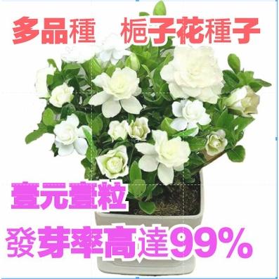 壹元壹粒 稀有重辦梔子花  梔子花種子  超低價   多款易種盆栽  限時特價   發芽率99%