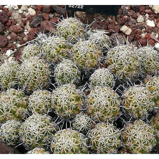 CARMO白刺球種子(10顆裝) 仙人掌種子【D61】