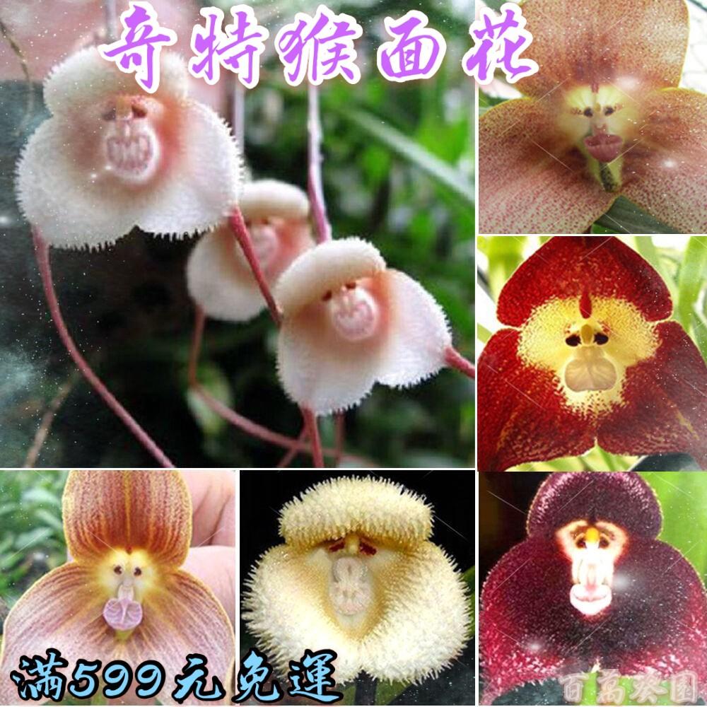 猴面花種子  奇特猴面蘭花  奇葩觀賞植物  四季易種易活  發芽率達99%