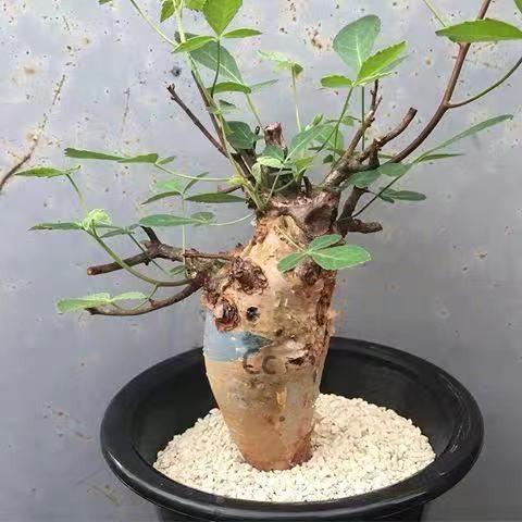 塊根 沒藥 橄欖 Commiphora holtziana 5粒種子