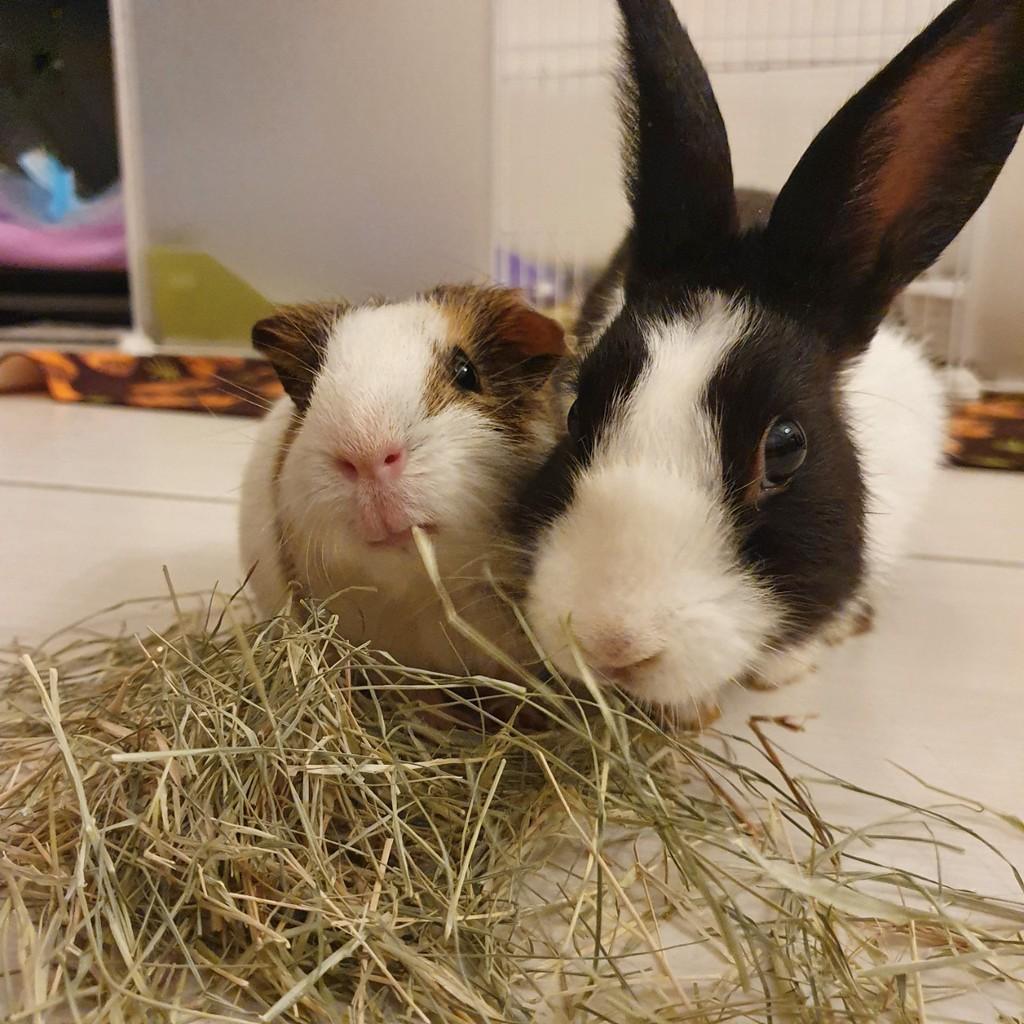 【Maple×天天喫草】牧草多件賣場‧苜蓿百慕達‧天竺鼠兔子牧草龜墊料