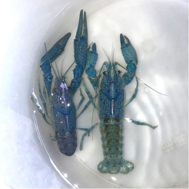 🦞🦞藍螯蝦/佛螯/佛羅里達螯蝦🦞🦞對蝦