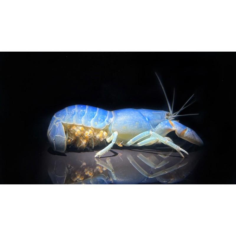 天空藍魔破壞者仔蝦 螯蝦