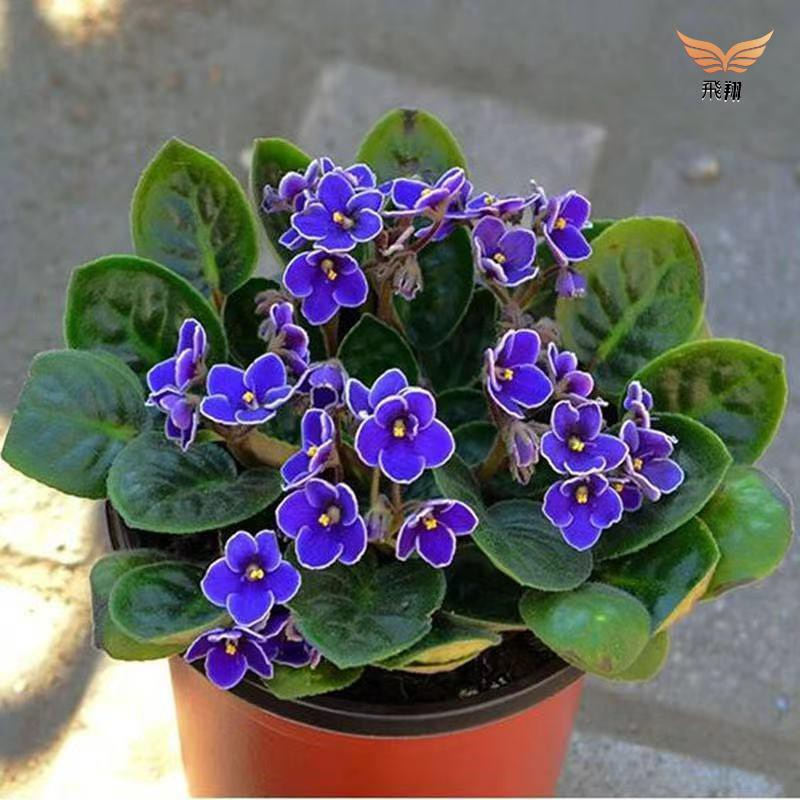 紫羅蘭盆栽花種子 草桂花富貴花種子❤️飛翔花園❤️